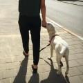 איך ללמד את הכלב לא למשוך
